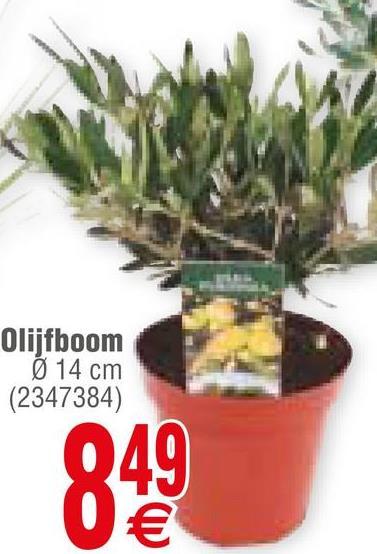 Olijfboom Ø 14 cm (2347384) 049 0€