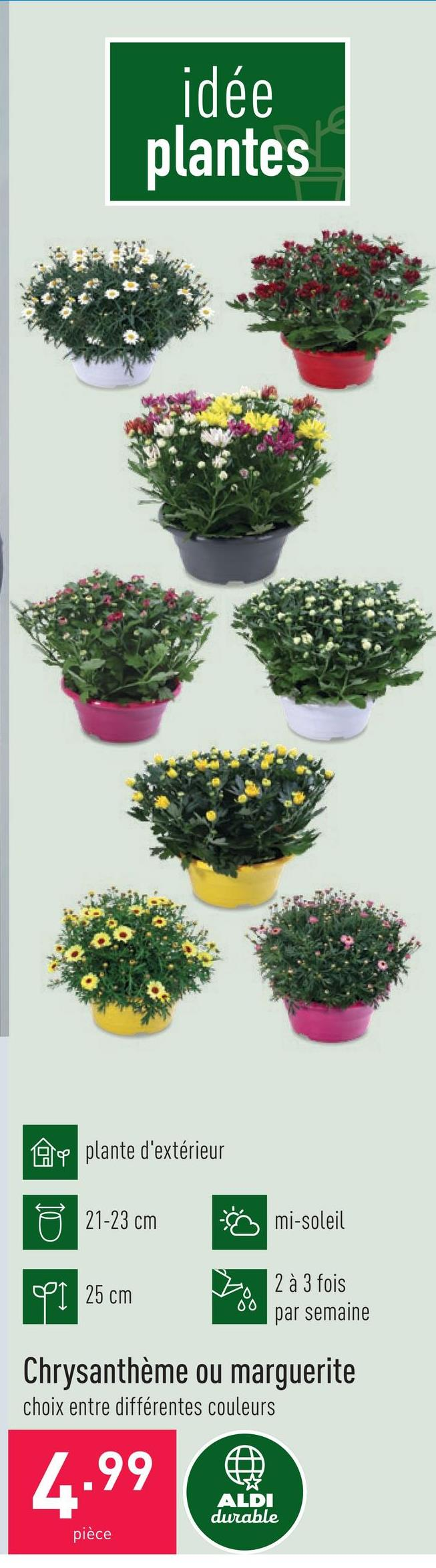 Chrysanthème ou marguerite choix entre différentes couleurs plante d'extérieurdiamètre : 21-23 cmhauteur : env. 25 cmmi-soleilarroser 2 à 3 fois par semaine