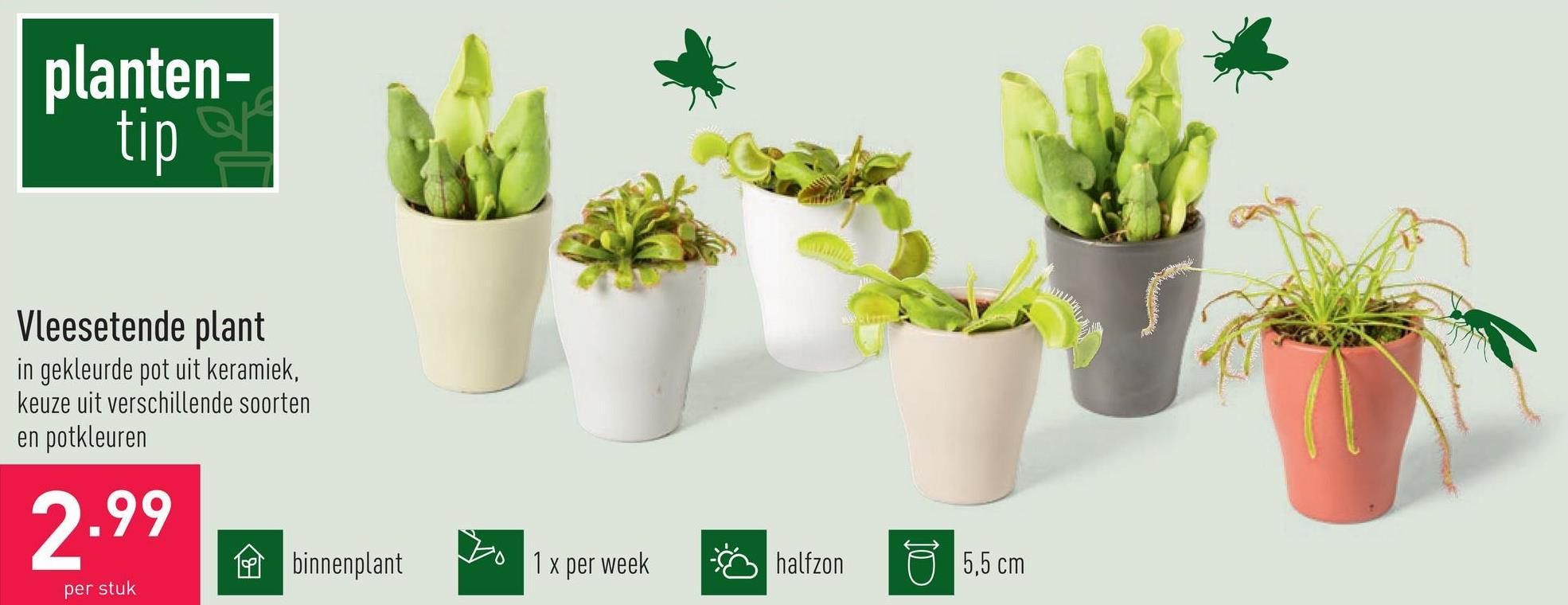 Vleesetende plant in gekleurde pot uit keramiek, keuze uit verschillende soorten en potkleuren, binnenplant, diameter kweekpot: 5,5 cm, halfzon, 1 x per week water geven