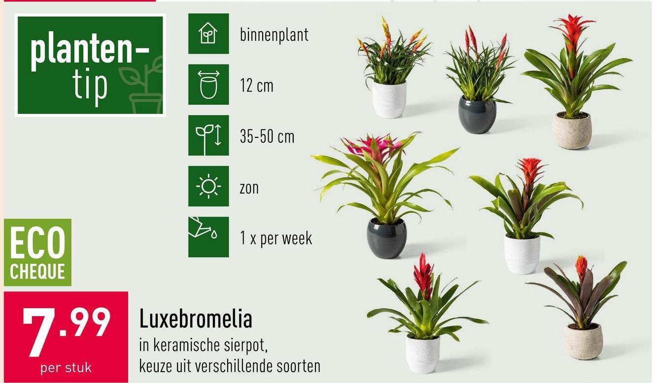 Luxebromelia in keramische sierpot, keuze uit verschillende soorten, binnenplant, diameter kweekpot: 12 cm, planthoogte: 35-50 cm, halfzon, 1 x per week water geven